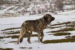 Mastiff Dog in Snow Stock Images