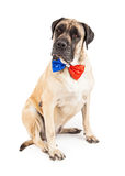 Mastiff Dog Wearing Independence Day Tie. A large English Mastiff dog sitting against a white backdrop wearing a sequin red and blue bow tie to celebrate Stock Images