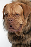 Mastiff dog wearing raccoon fur jacket royalty free stock photos