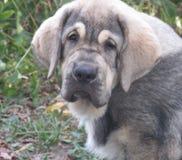 Mastiff espagnol Photo stock