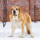 Mastiff espagnol Image stock