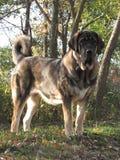 Mastiff espagnol Ashka Image stock
