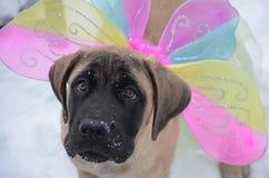 Mastiff fairy puppy Stock Photos