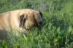 Mastiff in field. She is just relaxing in the pasture Royalty Free Stock Photography