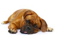 Mastiff français - chien de Bordeaux Photo libre de droits