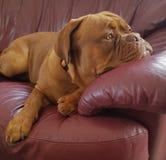 Mastiff francês Fotografia de Stock