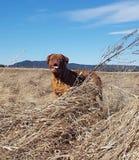 Mastiff francês fotos de stock