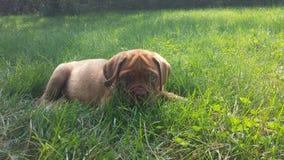 Mastiff francês imagem de stock