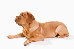 Mastiff francês no branco Fotos de Stock Royalty Free