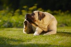 Mastiff in garden. Mastiff is scratching behind his ear - copy space stock photos