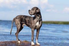 Mastiff grigio Fotografia Stock Libera da Diritti
