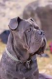 Mastiff italiano Imagem de Stock Royalty Free
