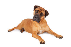 Mastiff Laying Tilting Head Royalty Free Stock Photos