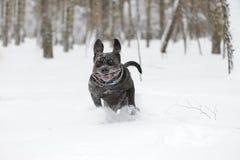 Mastiff napoletano di salto del cane Immagine Stock Libera da Diritti