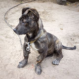 Mastiff napolitain Photos libres de droits