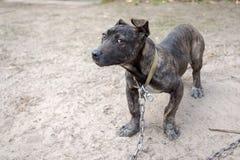Mastiff Neapolitan Imagem de Stock