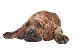 Mastiff ou filamentos brasileiros Brasileiro imagem de stock royalty free
