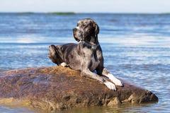 Mastiff på rock Royaltyfri Bild