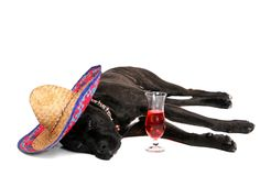 Mastiff Partying fotos de stock royalty free