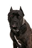 Mastiff portrait Stock Images