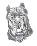 Mastiff portrait, pencil drawing Stock Photos