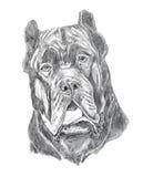 Mastiff portrait, pencil drawing. Mastiff dog portrait, pencil drawing Stock Photos