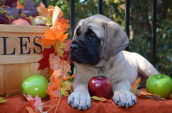 Mastiff puppy fall time stock images