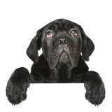 Mastiff puppy gets out of the box Stock Photos