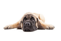 Mastiff Puppy Laying Flat Rolling Eyes Up Stock Images