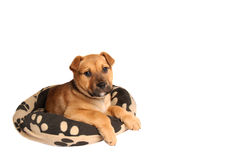 Mastiff puppy lying on a dog bed Royalty Free Stock Image