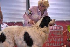 mastiff pyrenean royaltyfria bilder