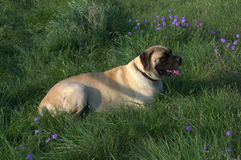 Mastiff Resting. Kitty decided it was time for a rest so she struck a pose Stock Photos