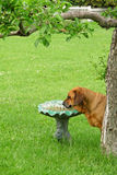 Mastiff Rottweiler mix drinking from a birdbath Royalty Free Stock Photo