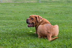 Mastiff s'étendant dans l'herbe photo stock