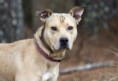 Mastiff Shepherd Bulldog mixed breed dog royalty free stock images