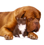 Mastiff and a small kitten. Mastiff from Bordeaux and a small kitten on a white background Royalty Free Stock Photo