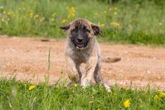 Mastiff spagnolo immagine stock libera da diritti