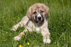 Mastiff spagnolo fotografie stock libere da diritti