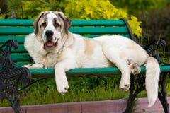 Mastiff spagnolo immagine stock