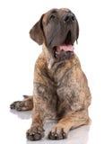 Mastiff tedesco Immagini Stock