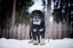 Mastiff tibétain de chiot en hiver, vacances, neige Image libre de droits