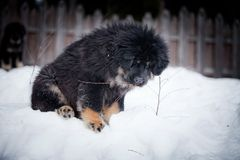 Mastiff tibétain de chiot en hiver, vacances, neige Image stock