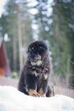 Mastiff tibétain de chiot en hiver, vacances, neige Photos stock