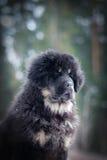 Mastiff tibétain de chiot en hiver, vacances, neige Photo stock