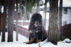 Mastiff tibétain de chiot en hiver, vacances, neige Photographie stock