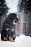 Mastiff tibétain de chiot en hiver, vacances, neige Photographie stock libre de droits