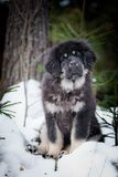 Mastiff tibétain de chiot en hiver, vacances, neige Images stock