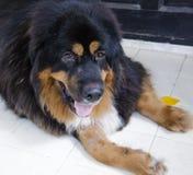 Mastiff tibetano Immagine Stock