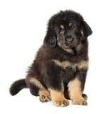 Mastiff tibetano do filhote de cachorro Imagem de Stock Royalty Free
