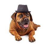 Mastiff Wearing Pinstripe Hat Stock Photo